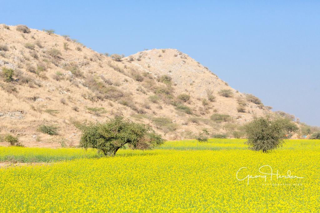 mustard plants - Rajasthan