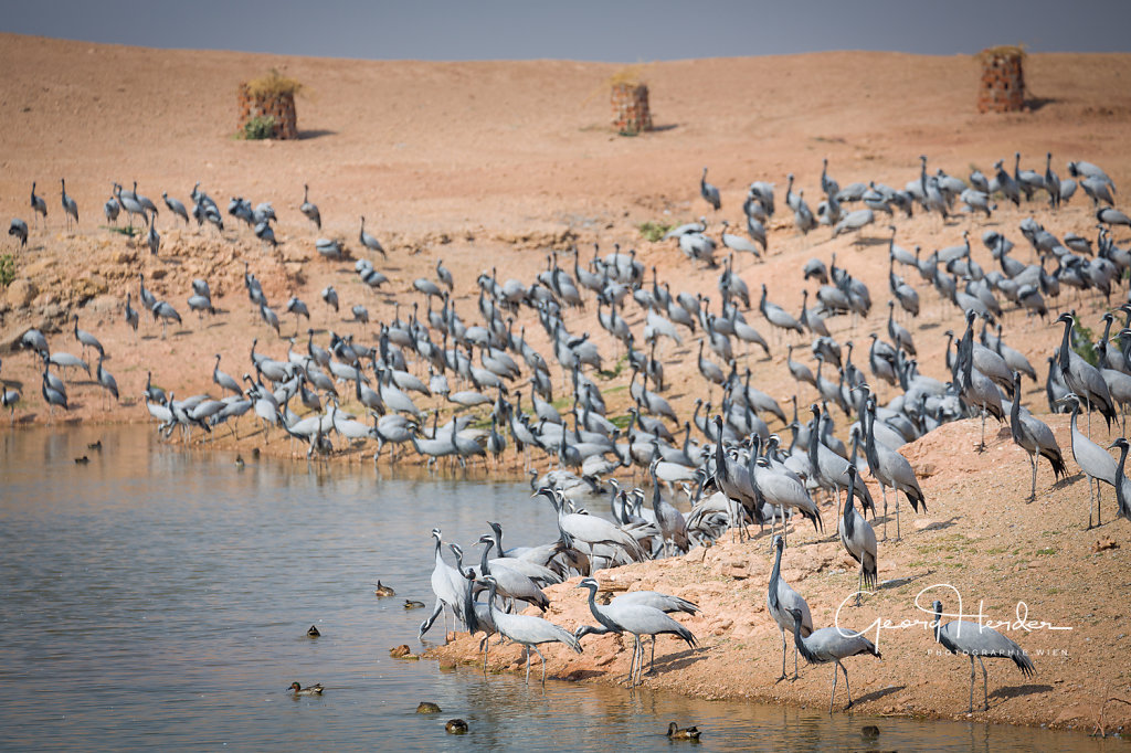 Siberian cranes - Keechan