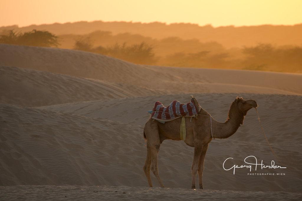 Camel - Desert Thar