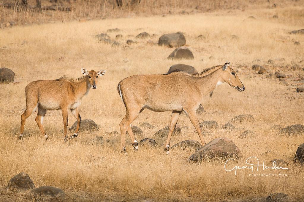 Antelope - Ranthambore national park