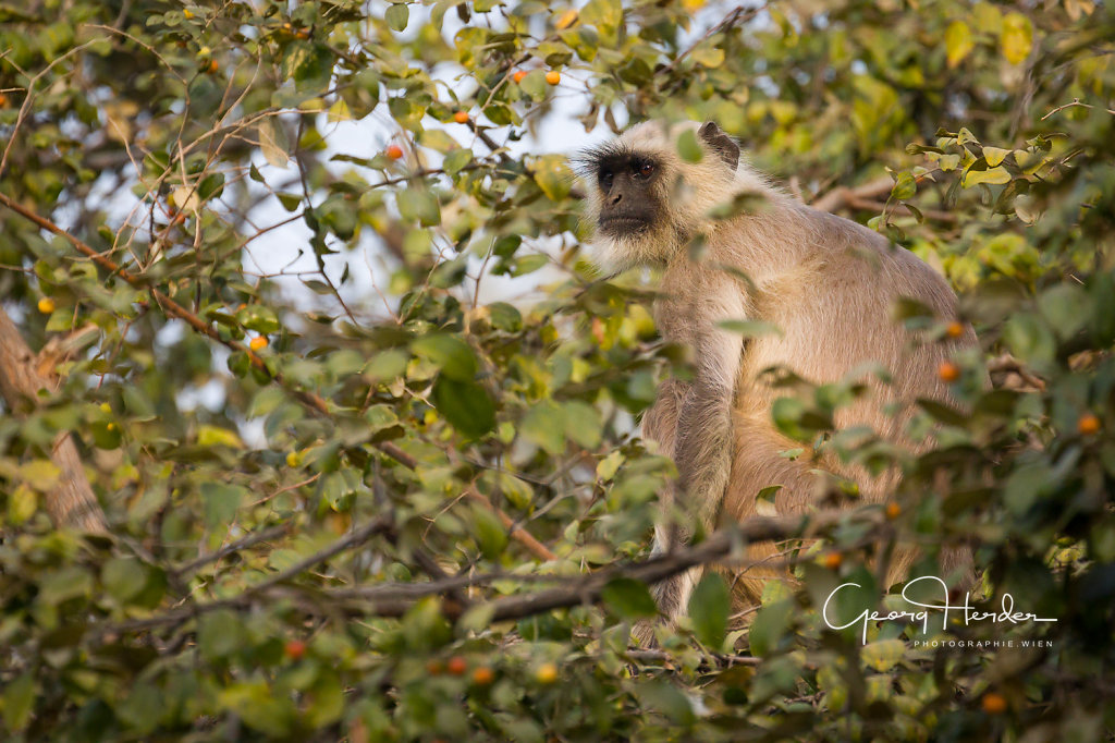 Monkey - Ranthambore national park