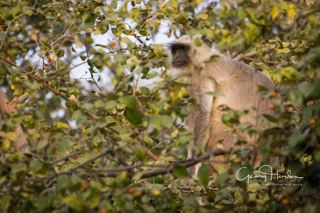 Monkey - Ranthambore national park