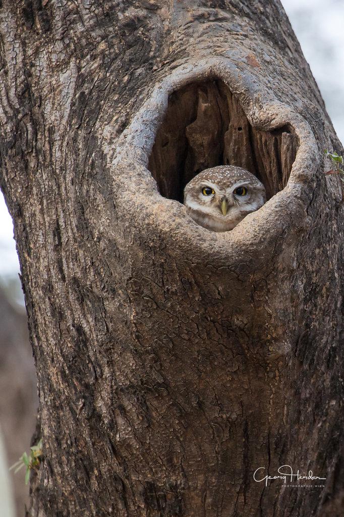 Owl - Ranthambore national park