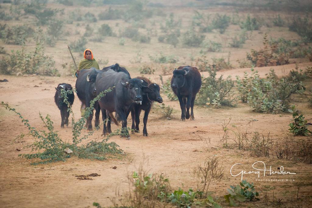 shepard with buffalos