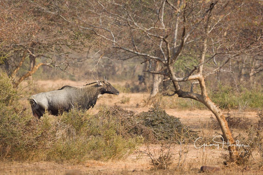 Antelope - Kaila Devi national park