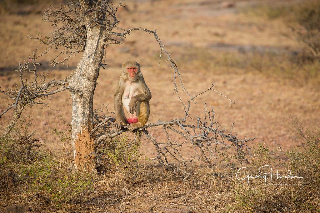 Monkey  - Kaila Devi national park